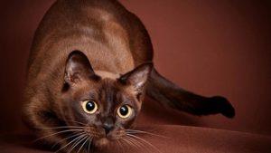 Разведение бурманских кошек с чего начать