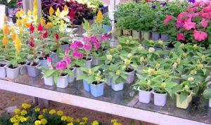 Как вырастить любую рассаду цветов для продажи