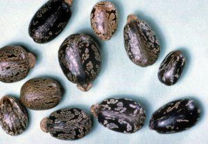 Сколько хранятся семена клещевины